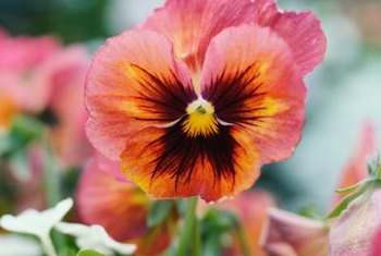 Pansies are colorful flowers with faces that prefer cooler temperatures for optimal growth.