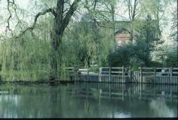 Weeping willow trees grow well next to bodies of water.