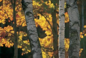 River birch trees bring soft yellow shades to the autumn garden.