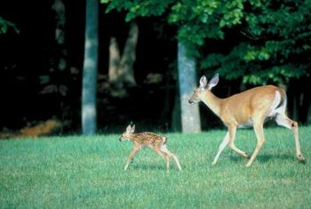 Deer droppings boost your lawn's nitrogen content.