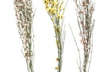Flowers from the Cytisus genus