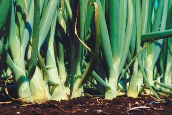 Onions respond well to applications of copper in the soil