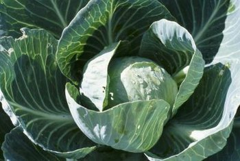 Cabbage is a winter-hardy vegetable that thrives in cool weather.
