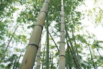 Tall, leafy bamboo varieties can be used to create shade.