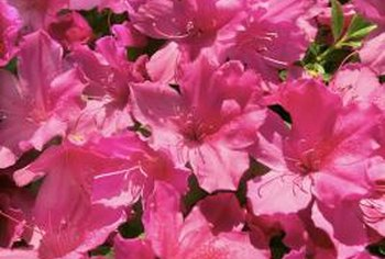 Even certain varieties of azaleas blossom in late summer.