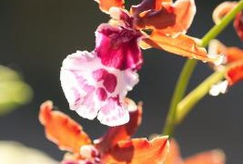Orchids are found in a wide variety of colors.