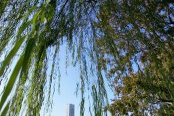 Weeping willow can be propagated from root cuttings.