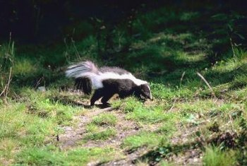Skunks enjoy snacking on white grubs.
