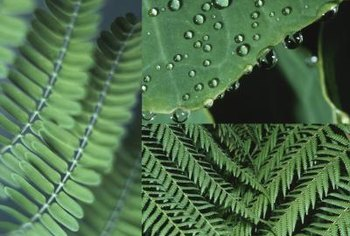Ferns often live in the shade created by trees and shrubs.
