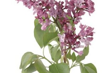 The deep green leaves of lilac plants help bring out the color of the lilac flowers.