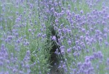 Make sure lavender beds are well-protected during their dormant months.