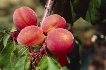 Peach trees grow well in sandy soil.