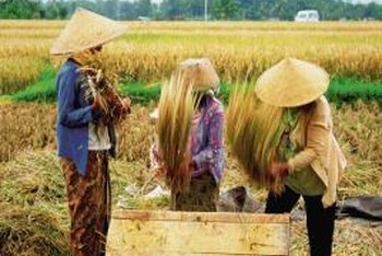 After rice is harvested, the straw can be used for mulch.