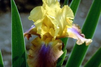 The fuzzy hairs growing from the lower iris petals are called the beard.