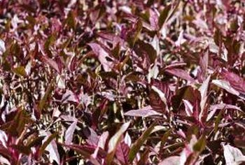 Purple foliage brightens up a dull area in your garden.