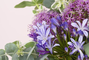 African lily's purple blooms work well in flower arrangements.