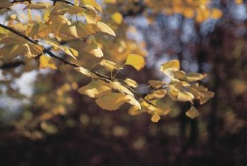 Gingko leaves turn beautiful gold shades in fall.