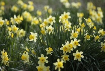 Daffodils need to be planted more deeply than smaller-bulbed flowers.