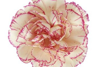 Carnations produce various colored blossoms, including two-tone varieties.