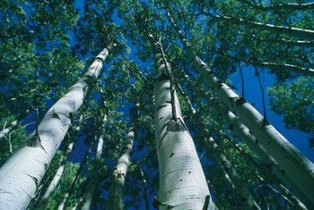Insects rarely infest healthy birch trees.