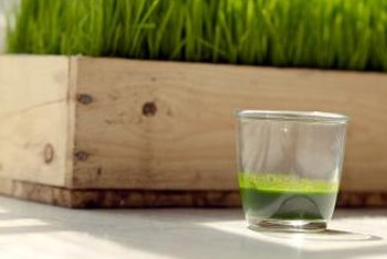 Wheatgrass yields a crop year-round if grown in greenhouses.