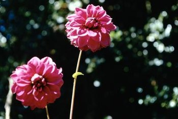 Dahlia's need companion plants that also thrive in full sun.