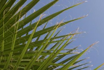 Palmettos are American natives but can become invasive.