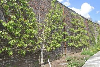 Espaliered fruit trees give good harvests in a small space.