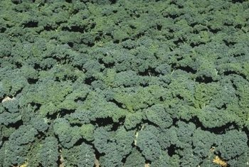 Kale contains vitamin K and calcium needed for platelet function.