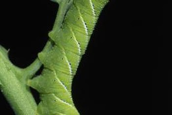 Hornworms leave smooth-edged holes in tomato foliage.