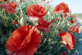 Poppies can be grown with other wildflowers.