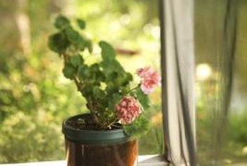 Outdoor annuals such as geraniums (pelargonium x hortorum) can become indoor plants during the winter.