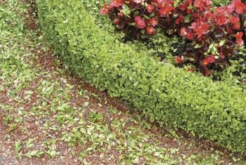 Boxwood is a classic hedge plant in formal gardens.