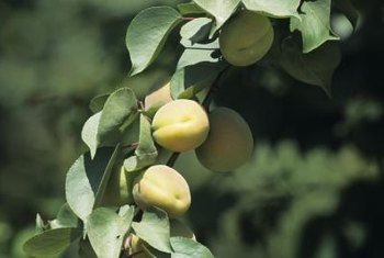 Fixed copper sprays ensure healthy trees and blemish-free apricots.