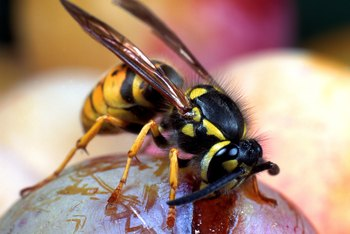 Yard wasps can be controlled with several natural methods.