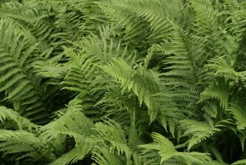 Ferns are good plants to provide texture in shady areas underneath Japanese blueberry trees.