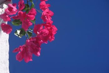 Bougainvilleas look stunning against clear blue, sunny skies.