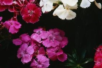 Firewitch dianthus has single deep magenta flowers.