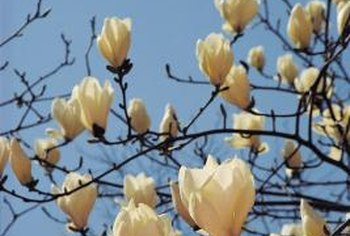 Magnolia trees produce a multitude of blooms.