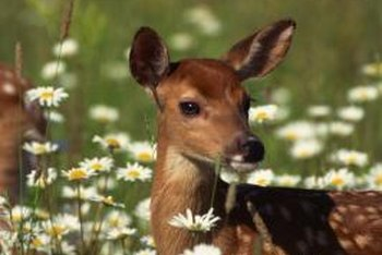 They may look harmless, but deer can decimate your garden.