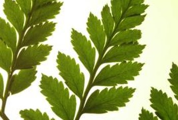 Ferns are ancient plants that alternate between asexual and sexual reproduction stages.