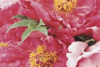 A colorful peony border makes an inviting entrance to your property.