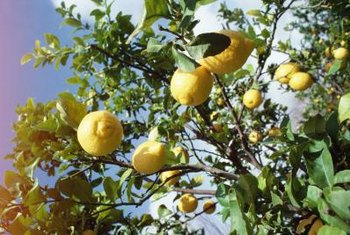 Choose a dwarf Meyer lemon to make picking fruit easier.