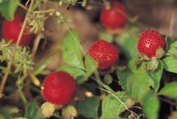 Strawberries can grow on the ground beneath a trained raspberry bramble.