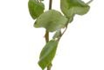 Long stems on hybrid tea roses were the result of grafted rootstocks.