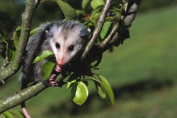 Opossums can destroy a fruit crop.