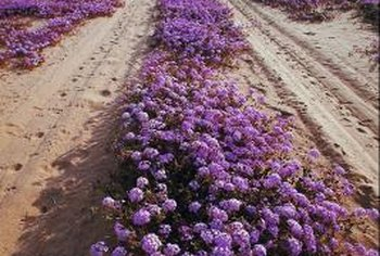Purple verbena makes a thick and attractive ground cover.