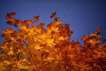 Maple leaves should turn yellow in fall, but not at other times.