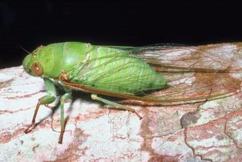 You can find as many as 40,000 cicadas under one tree during an emergence.