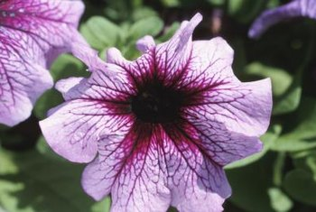 Petunias add gorgeous pops of color to landscapes.
